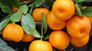 Мандарин – несколько фактов о любимом фрукте